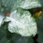 Болезнь растений мучнистая роса