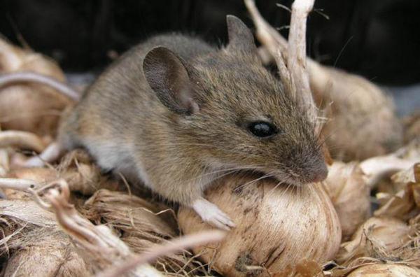 Звуки домашних крыс: что хочет сказать ваш питомец?