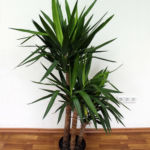 Ложная пальма Юкка