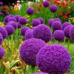 Растение декаративный лук