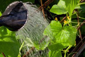 Садовод поливает огурцы