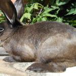 Кролик Советский мардер
