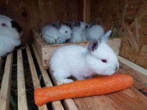 Маленькие калифорнийские кролики