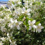 Цветок жасмин