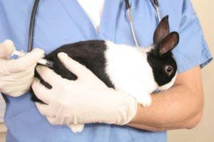 Ветеринар делает кролику прививку