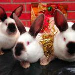 Калифорнийская порода кролика