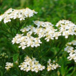 Цветок тысячелистник