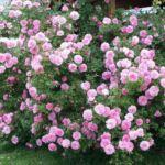 Цветы розы для парка