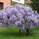 Цветок глицинья