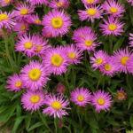 Цветок Астра Альпийская